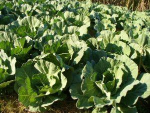 lh_farm_lettuce
