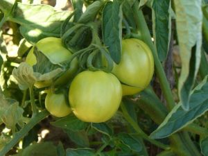 lh_farm_tomato